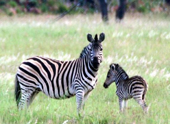 Kroonvlei Wilderness Estate - zebra