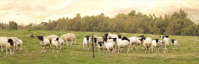 Rietvlei Holiday Farm - sheep