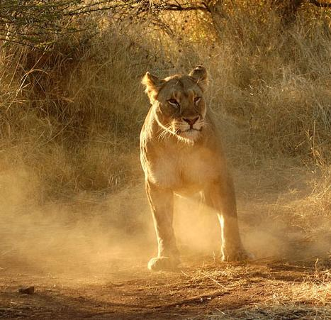 Ivory Tree Game Lodge - lioness