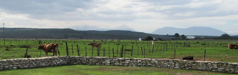 A Farm story - cows