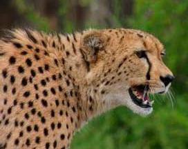 Hitgeheim - cheetah