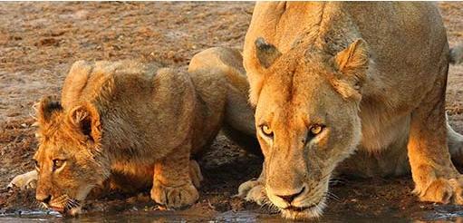Tanda Tula - lions