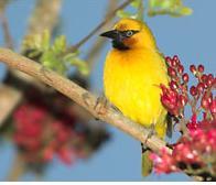 Heuglins - bird