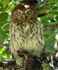 Shondoro Mountain Retreat - owl