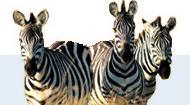 Blyde River Canyon Lodge - zebra