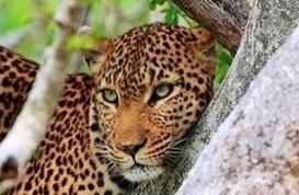 Bona Intaba - leopard