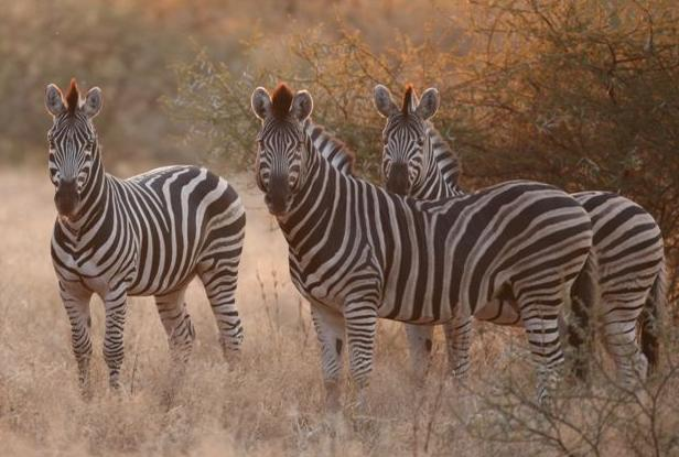 Mogalakwena - zebras