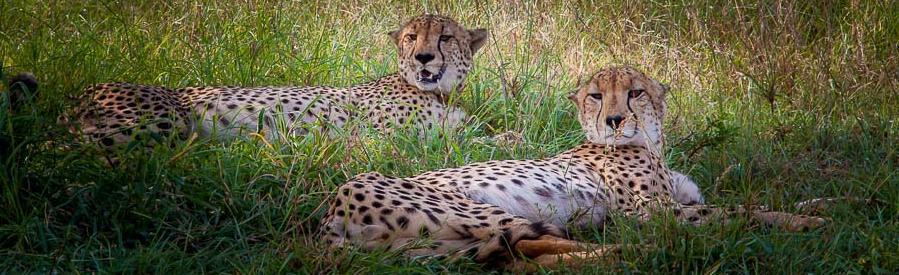 Zulu Nyala - cheetahs