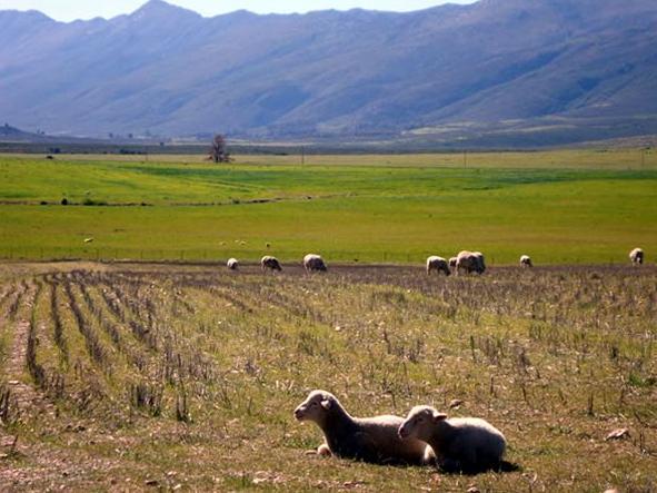 Eikelaan Farm Cottages - sheep