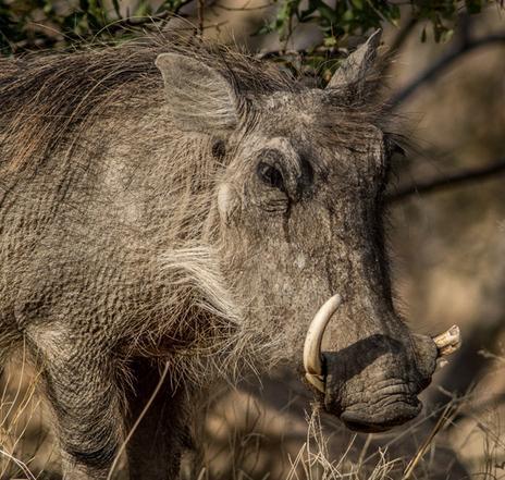 Warthog Lodge - warthog