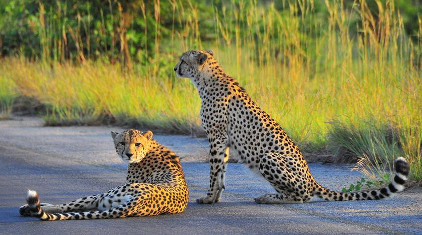 Cheetah Paw Lodge - cheetahs