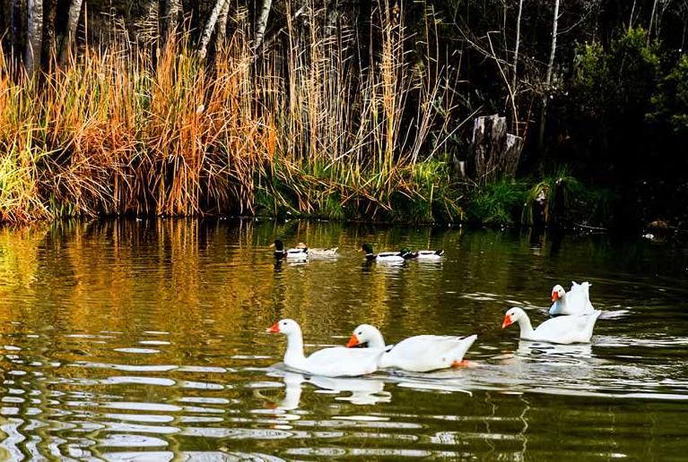 Keurfontein Country House - ducks